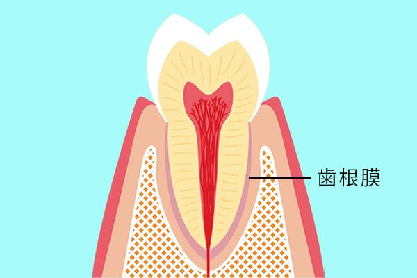 歯の断面図/歯根膜